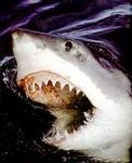 Es gibt einen Hai der auch im Süßwasser überleben kann. Welcher?