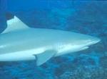 """Wie groß kann der """"Nervöser Hai"""" werden?"""