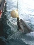 Welche Farbe hat der Koboldhai?