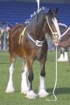 Shire Horse sind die größten Pferde der Welt!