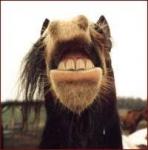 Hengste haben 4 Zähne mehr als Stuten!