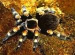 In manchen Filmen haben Vogelspinnen kleine oder größere Rollen. Welche Art wird aufgrund ihrer schönen Färbung größtenteils für solche Auftrit