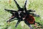 Auf dem Hinterkörper welcher Spinne finden sich kräftig gefärbte rote Haare?