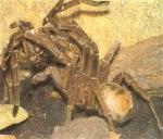 Was kann bei einer Verpaarung von Vogelspinnen manchmal passieren?