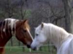 Welche Pferderasse ist besonders gut für die Cutting-Prüfung geeignet, da sie den vererbbaren Cowsense hat?