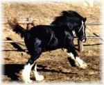 Welches ist die größte Pferderasse der Welt?