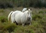 Welche spätwüchsige Pferderasse ist erst mit 7-8 Jahren ausgewachsen?