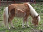 Wie bezeichnet man ein Pferde mit einer Widerristhöhe bis 145 cm?