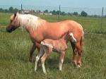 """Wo kam das erste geklonte Pferd """"Prometea"""" zur Welt? (Prometea ist das Fohlen auf dem Bild)"""