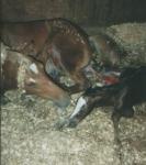 Wie lange dauert die Geburt eines Fohlens?