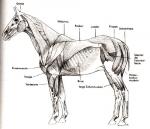 Aus wievielen Lungenflügeln besteht die Lunge des Pferdes?