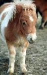 Wie heisst die kleinste Pferderasse?