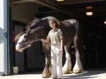 Shire Horse Quiz
