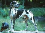 Wie schwer wird die Deutsche Dogge?