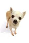 Welche Rasse zählt zu den kleinsten anerkannten Hunderassen mit einem Gewicht von 0,5 - 3 kg und einer Widerristhöhe von unter 20cm?