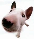 Wie heißt der zu den Kampfhunden zugeordnete Hund, mit dem einzigartigen Merkmal und zwar dem <<downface>>(divergierenden Kopflinie) und