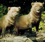 Wie nennt man den seltenen Wildhund, der die Savannen und Wälder von Panama bis Paraguay bewohnt?