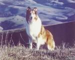 Zu welcher Rasse gehört der bekannte Fernsehhund Lassie?