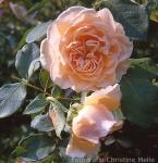Zu seiner Verlobung mit Model Dita van Teese bekam Marilyn Manson von Kumpel Ozzy Osbourne ein Dutzend schwarzer Rosen.