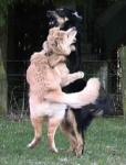 Was machst du, wenn dein Hund sich mit einem anderen kabbelt?