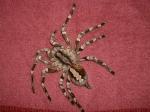 Spinnenweibchen werden bis zu 30 Jahre alt.