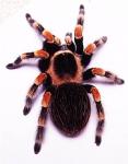 Der Vorfahre der Spinnen ist der Geißelskorpion.