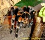 Vogelspinnen fressen Heimchen(kleine Heuschrecken)