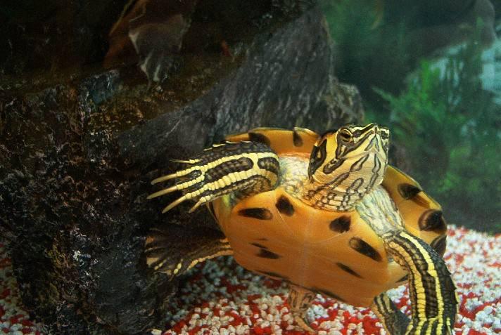 Wasserschildkröte...