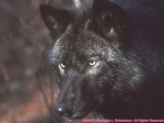Welchen Rang hättest du in einem Wolfsrudel?