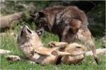 Wenn du mitbekommst, dass euer Alphawolf einen aus dem Rudel besonders mies behandelt, würdest du dich dann mit eurem Boss anlegen?