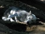 Im Wald siehst du einen schwerverletzten Wolf unter einem Baum liegen. Wie reagierst du?