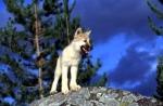 Du bist der Alphawolf (cool, was?) und du sollst nun entscheiden, ob ein Außenseiter, also ein fremder Wolf, in dein Rudel darf oder nicht. Wie entsc