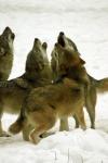 Alle Hunde stammen vom Wolf ab.