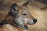 Der Wolf ist vom Aussterben bedroht.