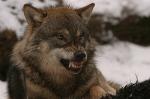 Das Knurren vom Wolf heißt, dass er angreifen will.