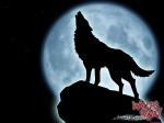 Der Wolf heult nur in der Nacht.
