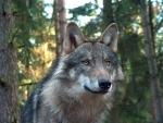 Der Alphawolf hat den niedrigsten Rang im Rudel.