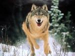 Der Wolf ist der Vater aller Katzen.
