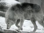 Der Wolf hat insgesamt 42 Zähne.