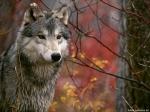 Der Wolf ist ein Einzelgänger.