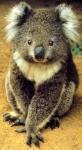 """Das der Name Koala von den Ureinwohnern Australiens- stammt und Übersetzt heißt: """"Tier, das nicht trinkt""""."""