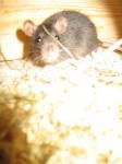 Auf einmal wird dir Spreu vor die Nase gelegt, was nach anderen Ratten riecht. Was tust du?