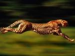 Der Gepard ist das schnellste Tier der Welt?