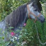 Welche Pferderasse ist die kleinste?