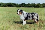 Der Australian Shepherd (Aussie) / Hunde