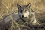 Wie lautet der Wissenschaftliche Name des Wolfes?