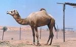 Vervollständige die Reihe:Lama/Kamel/Giraffe/...