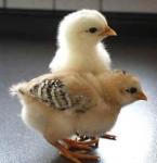Hühnerquiz für Schlaue Köpfchen