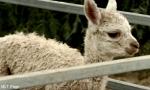Wie heißen die Babys von den Alpakas?