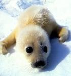Wie viele Robben werden pro Jahr etwa getötet?